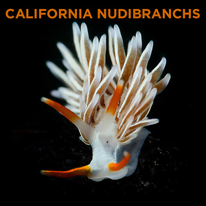 California Nudibranchs by Todd Winner