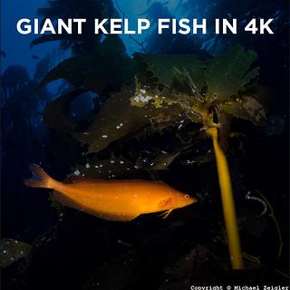 Giant Kelpfish in 4K by Todd Winner