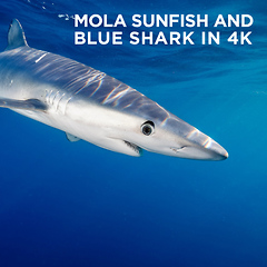 Mola Sunfish and Blue Shark in 4K by Todd Winner