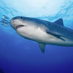Tiger Shark and Dolphin Trip, Bahamas June 18-25